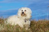Havanese look for links