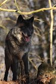 A North American Wolf (canis Lupus) Staying In The Forest. Calm, Black And Big North American Wolf M poster