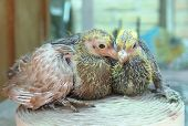 stock photo of pigeon loft  - Pigeon nestlings bird sitting together little babies - JPG
