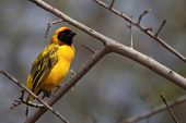 The Southern Masked Weaver Or African Masked Weaver (ploceus Velatus) Sitting In The Grass.southern  poster