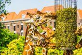 Somali Giraffes Eating Hay From A Basket, Zoo Animal Feeding Equipment, Endangered Animal Specie Fro poster