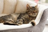 Cute Tabby Cat On Pet Bed At Home, Closeup poster