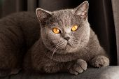 Young Cute Cat Resting On Wooden Floor. The British Shorthair Pedigreed Kitten With Blue Gray Fur. poster
