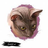 Suphalak, Thong Daeng Cat Isolated On White. Thong Daeng. Digital Art Illustration Of Pussy Kitten P poster