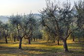 Olive Trees Garden. Mediterranean Olive Field Ready For Harvest. Italian Olives Grove With Ripe Fre poster