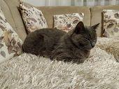 Cute Grey Russian Blue Cat Feline Animal Pet Resting On Sofa poster