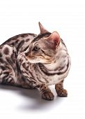 Bengali Cat Posing, Beautiful Cat Of Bengali Breed, Young Domestic Cat, Exhibition Animal, Cat On A  poster