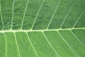 pic of stomata  - The characteristic of midrib and veins of leaves - JPG