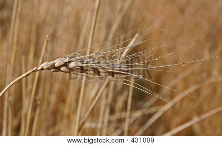 Dew On Wheat