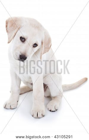 Cute Labrador retriever pet puppy dog isolated on white background. Yellow lab.