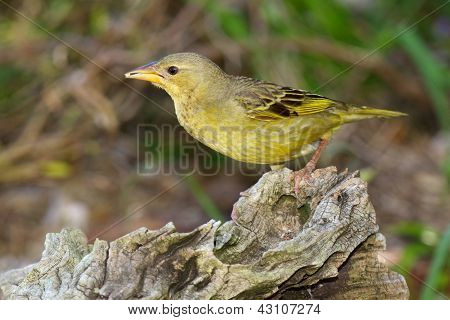 Female Spectacled Weaver