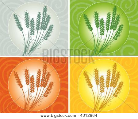 Wheat Ears In Several Color