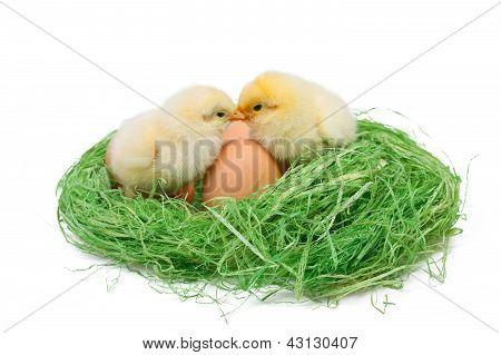 Two Little Chicken In Hau Nest On White Background