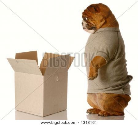Bulldog Standing Looking Down Into Box