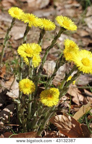 Blossoms of Coltsfoot, Tussilago farfara