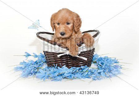 Pretty Golden-doodle Puppy