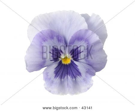 Design Elements: Light Blue Pansy