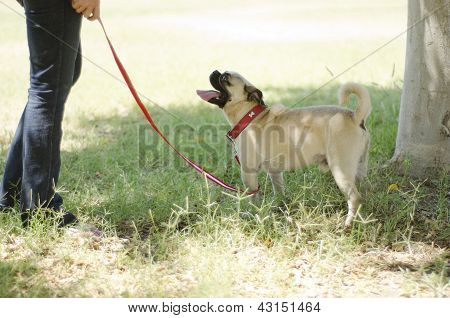 Cute pug dog and owner at a park