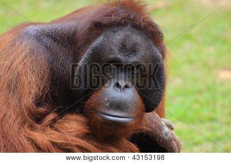 Looking_monkey