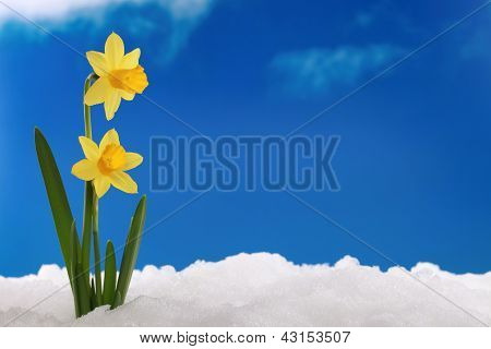 Spring Winter: Daffodils In Snow