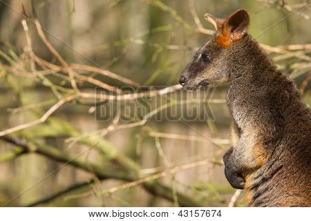Close-up Of A Swamp Wallaby