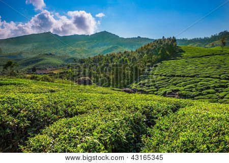 Tea plantations in state Kerala, India