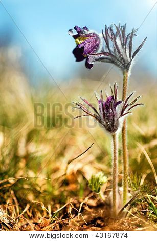 Black Pulsatilla flowers on the meadow