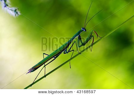 Praying Mantis Mantodea On A Green