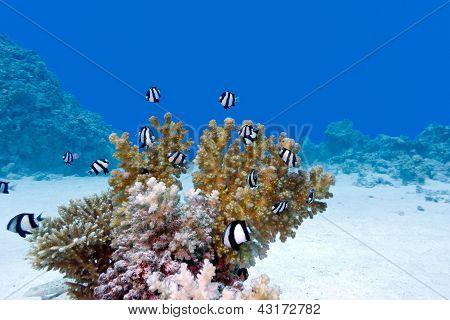 Korallenriff mit harten Korallen und exotischen Fischen am unteren Rand Tropenmeer