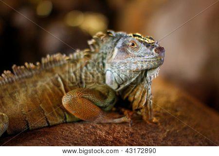 Close-up Of Leguan