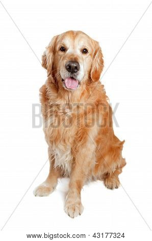 Golden Retriever Dog Posing