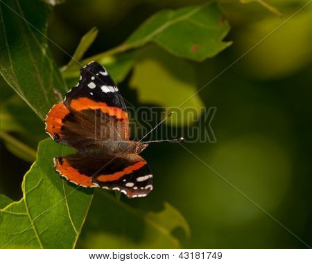 Red Admiral butterfly, Vanessa atalanta, resting on a oak leaf in spring