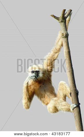 Gibbon común o gibón de manos blancas