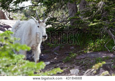 Curious Mountain Goat