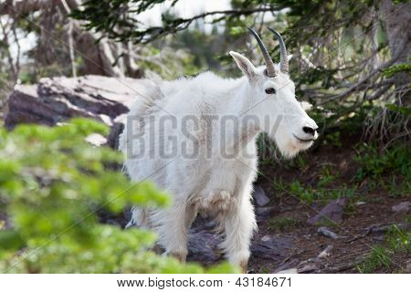 Mountain Goat Close Up