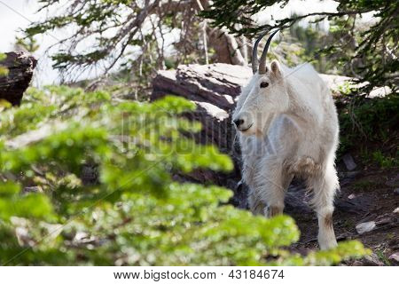 Mountain Goat Profile