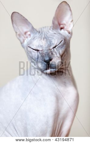 Sphynx Cat Portrait. Looking At The Camera With Closed Eyes