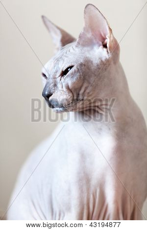 Sphynx Hairless Cat Portrait
