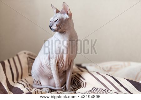 Calm Cat Sphinx Sitting On A Sofa In The Bedroom