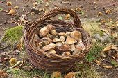 picture of edible mushroom  - picking of cep mushrooms in the wood  - JPG