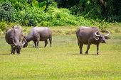 picture of female buffalo  - Buffalo in wildlife - JPG