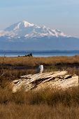 stock photo of snowy owl  - Snowy Owl and mountain baker December 2012 About 28 snowy owls near the foot of 64nd Street on Boundary Bay Delta BC Canada - JPG