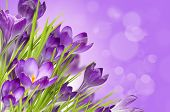 image of primrose  - spring floral background with a purple crocuses - JPG
