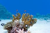 stock photo of damselfish  - coral reef with hard coral and exotic fishes at the bottom of red sea in egypt - JPG