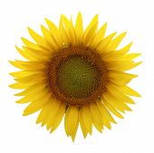 picture of sunflower  - Sunflower on white background - JPG