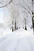 foto of birchwood  - the winter road passing through a birchwood - JPG