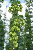 pic of hop-plant  - hop cones in the hop garden before harvest - JPG