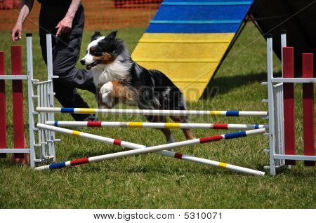 Australian Shepherd (aussie) Leaping Over A Double Jump At Dog Agility Trial