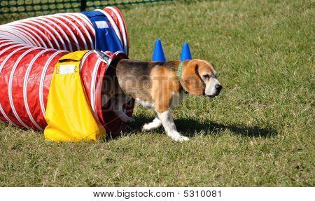 Beagle verlassen rot Agility-tunnel