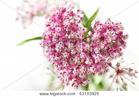 Swamp Milkweed Flower